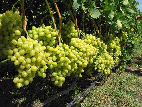 Как вырастить виноград  Виноград – довольно капризная культура, и...