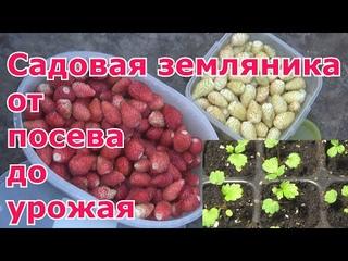 Садовая земляника из семян от посева до урожая. Посев, пикировка, высадка в грунт, выращивание, уход