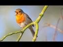 Лечение птичьим щебетом Пение птиц в роще Гармонизация психики и всех систем организма