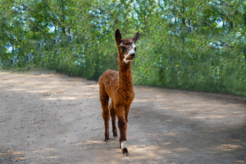 Экзотическое животное альпака родилось в зоопарке отеля Yalta Intourist