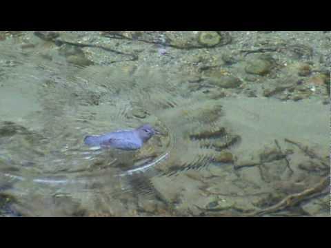 American Dipper swimming under water