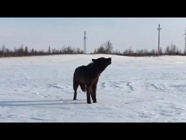 Вой волка Акелы в 8 месяцев вой волчонка канадский волк крупный волк северный волк