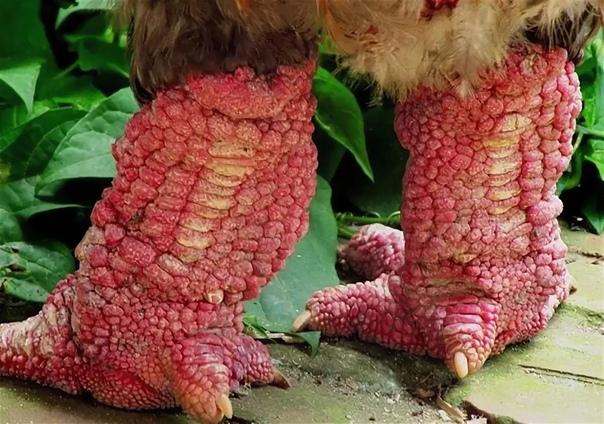Га Донг Тао  слоновая порода кур.