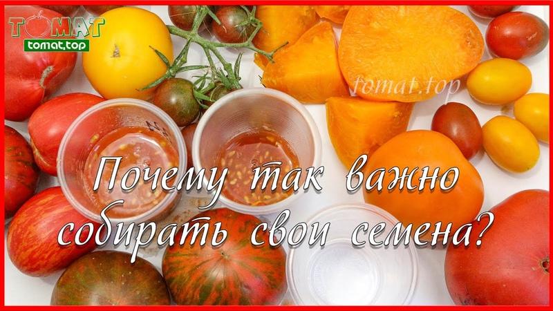 Семена томатов. Почему важно собирать свои семена томатов Что такое эпигенетическое наследование