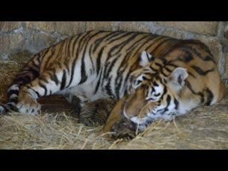 Редчайшие кадры ! тигрица рожает ! rare video ! tigress giving birth to a cub