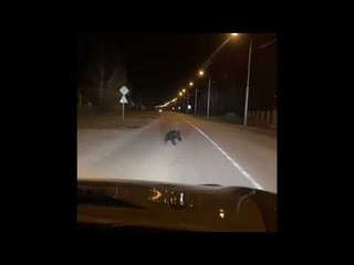 Медвежонок выскочил на дорогу в деревне. Новосибирская область. Село Скала.
