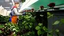 Во время сбора и сортировки роз в тепличном комбинате Юг Агро в станице Ярославской
