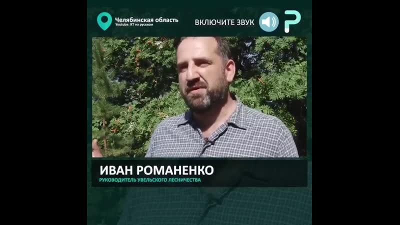 В Челябинском лесничестве выходили 3 месячного спасенного из лесного пожара волчонка