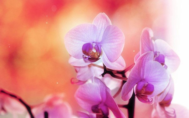 ОРХИДЕИ СЕКРЕТЫ УХОДА. Прекрасную орхидею - фаленопсис дарят женщинам на праздник.Вы стали хозяйкой орхидеи И теперь пребываете в смятении, как за ней ухаживатьВсего несколько несложных советов