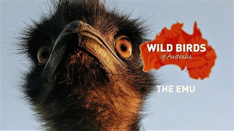 Дикие птицы Австралии Тайная жизнь Эму