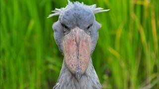 Очень необычная птица с ГОЛОВОЙ КИТА! Китоглав, королевская цапля, ботинкоклюв - так кто же он?