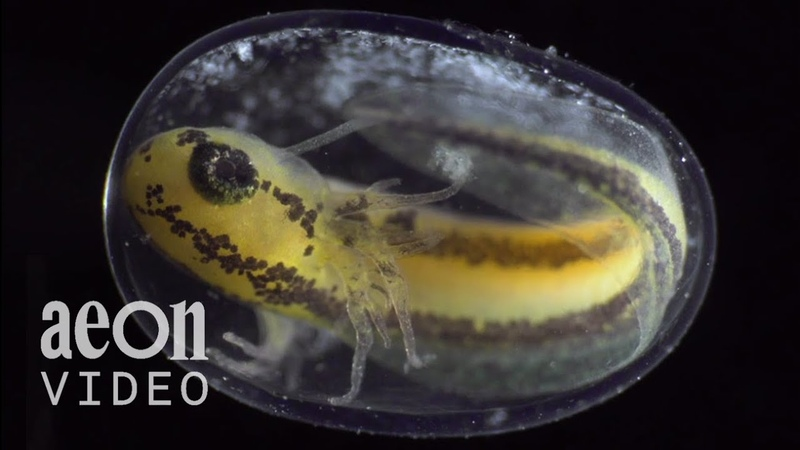 Becoming From zygote to tadpole in six stunning minutes