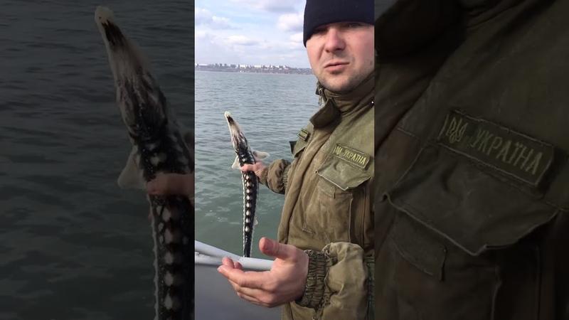 Азовським рибоохоронним патрулем спільно з Прикордонники визволили з тенет червонокнижну рибу