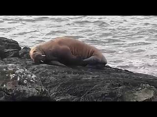 Морж из Арктики уснул на льдине и приплыл в Ирландию. An Arctic Walrus has landed on Valentia isle.