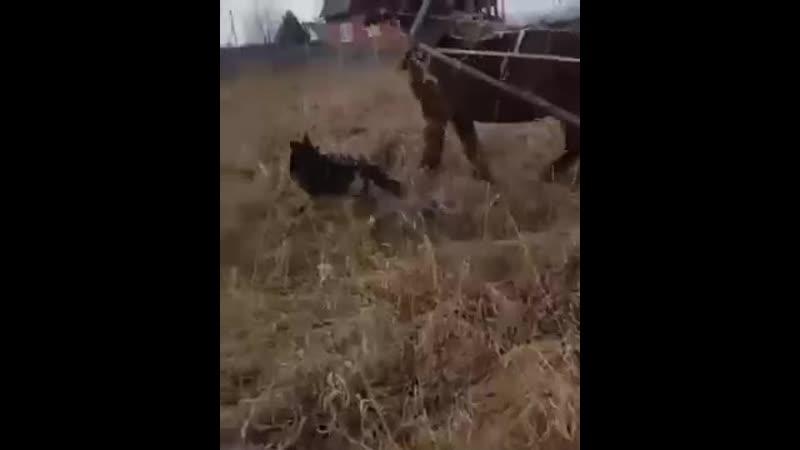 Спасение коня от собак