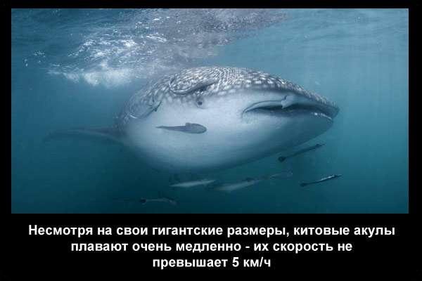 валтея - Интересные факты о акулах / Хищники морей.(Видео. Фото) BRa4TShulo0
