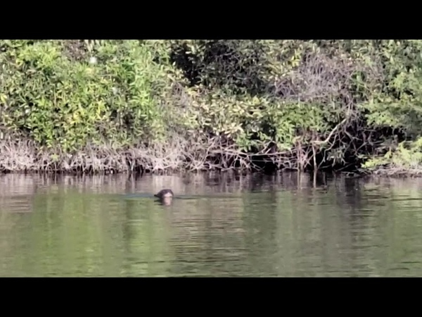 The Giant River Otter Rediscovered in Argentina