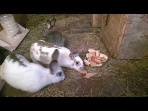Отсаживаю Крола от крольчих с крольчатами Неделю с ними жил Убеждаемся что все живы и здоровы