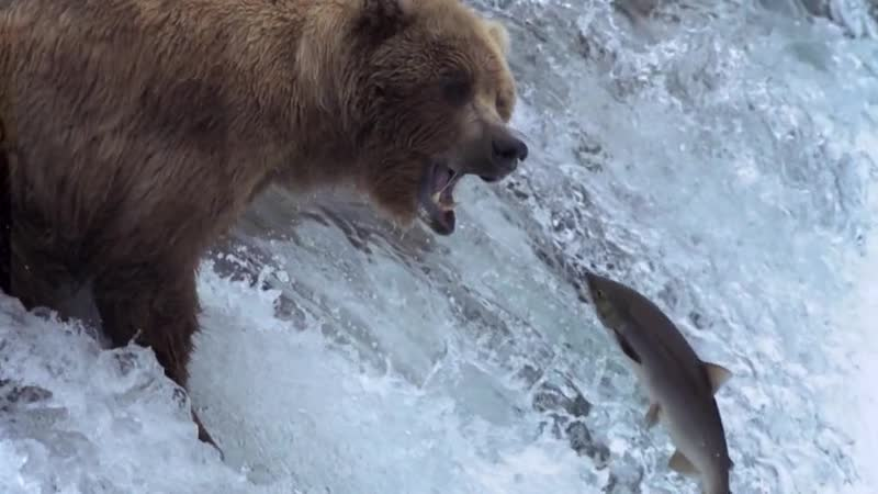 BBC Величайшие явления природы Великий исход лосося 2009 г 2х6