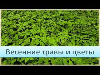 Весенние травы и цветы