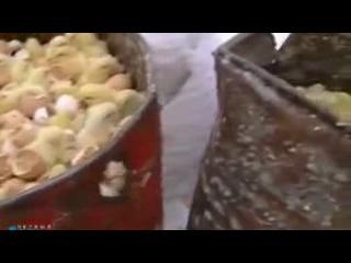 На Курской птицефабрике уничтожают  живых цыплят!