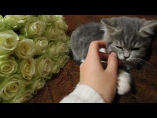 Моё маленькое счастье....  ... котёночек мой.... шотландский скотиш страйт