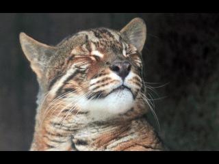 Кошачьи  Кошка Темминка
