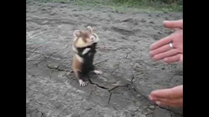 Berserk Hamster Бешеный хомяк