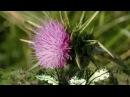 Расторопша пятнистая чертополох Лекарственные травы