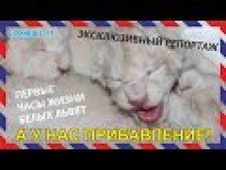 Львиная Новость №9. НОВОРОЖДЕННЫЕ ЛЬВЯТА