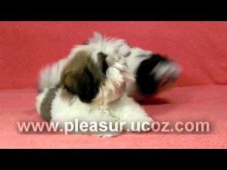 Shih Tzu Puppy - Pleasure of Life