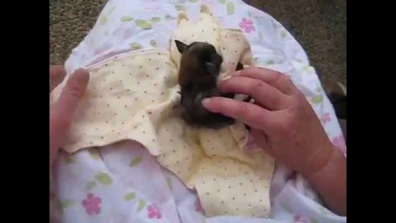 Как пеленают летучего мышонка Unwrapping an Orphaned Baby Bat