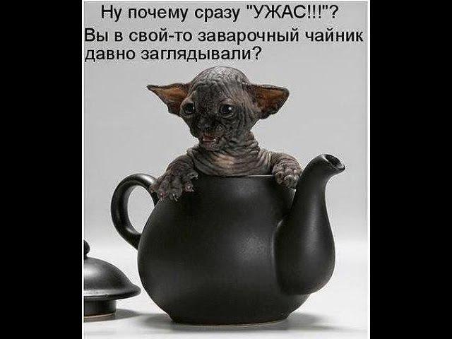 СФИНКСЫ это АДСКИЕ КОШКИ и по ЧЕРТОВСКИ смешные Hellcat sfinsky and it is damn funny