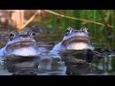 Moor Frogs / Rana Arvalis / BLUE FROG. David Attenborough's opinion