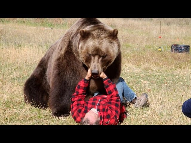 How to Survive a Bear Attack Episode 1 Good Morning America ABC News