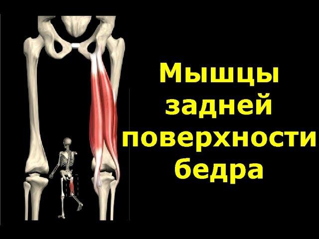 Мышцы задней поверхности бедра Анатомия Упражнения Растягивание vsiws pflytq gjdth yjcnb tlhf fyfnjvbz eghf ytybz hfcnzu