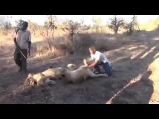 Лев просто чихнул, смотри реакцию парня