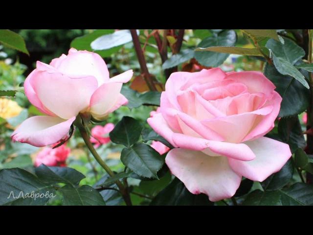 Роскошные розы Убедитесь сами HD