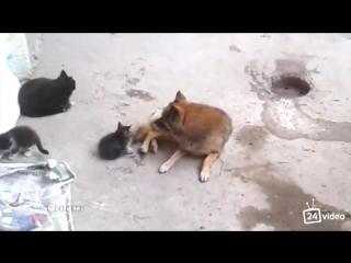 Кошка знакомит котят с другом = )