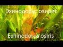 Эхинодорус Озирис (Echinodorus osiris)