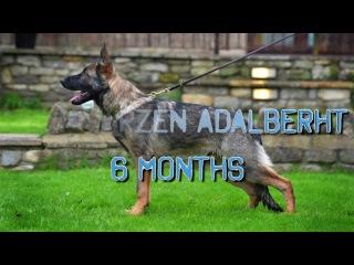 Wolfherzen,s Adalberht GSD 6 months old puppy IPO Schutzhund dog training