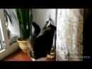 кошкаборискаБориска приучена просить хрустики, звенит в колокольчик!
