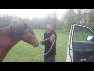 Бухой мужик залазит на лошадь