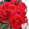 Роза Пустынная