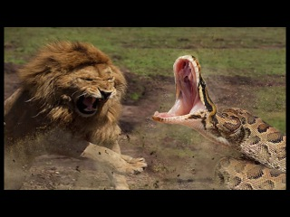 Incredible Lion Vs Python In Africa | Lion Steals Prey From Opponent's Mouth.