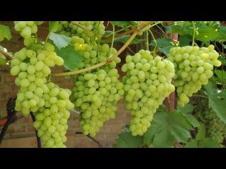 Болгарские сорта винограда.