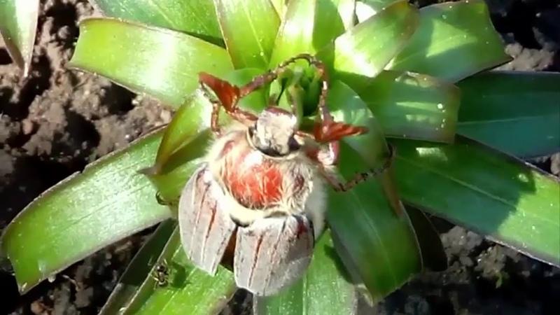 Майский жук - хрущ садовый