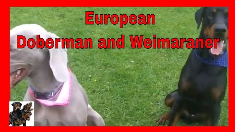 European Doberman and Weimaraner