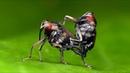 Long legged Weevils from Ecuador mating