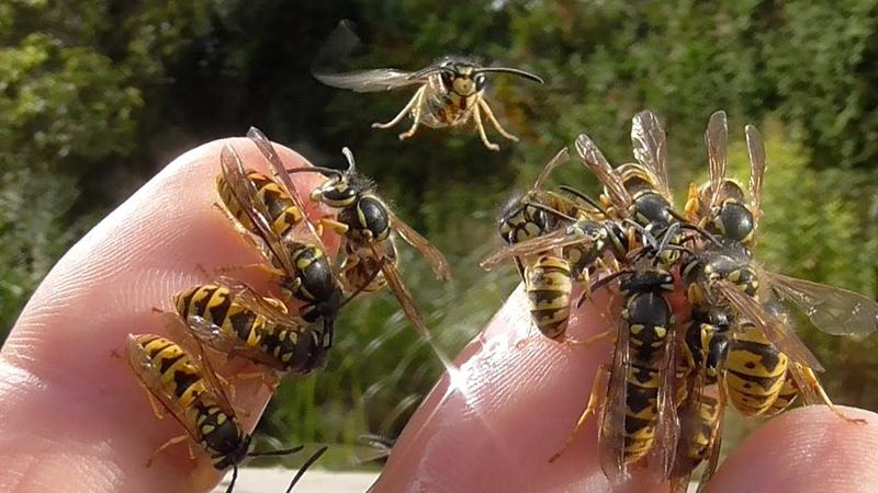 Hornet and wasps on my hands Speaker Hans J Sittig Hornissen und Wespen sind keine Ungeheuer